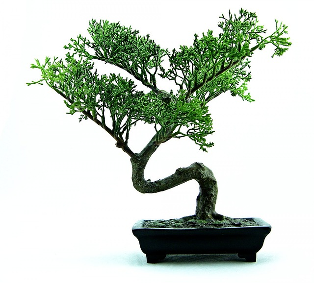 bonsai-316573_640